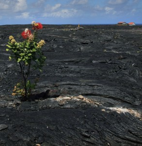 An 'ohi'a lehua growing out of the 1986 lava flow, near Kalapana.